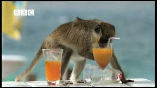 drunk monkeys fail weird nature