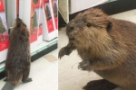 Waaoow!! Beaver on aisle 5! in Maryland dollar store